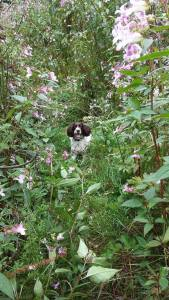 Marley playing hide & seek - not very well, though.