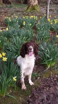 Oscar in the daffs.